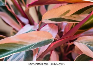 Calathea pink trio star Beautiful Stromanthe Triostar Sanguinea Plant foliage trendy house plant prayer plant closeup