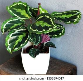 a Calathea plant