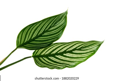 Calathea Vittata leaves, green leaf with white stripes, Tropical foliage isolated on white background, with clipping path