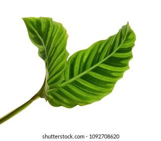 Calathea zebrina foliage or Zebra plant, Exotic tropical leaf, isolated on white background with clipping path
