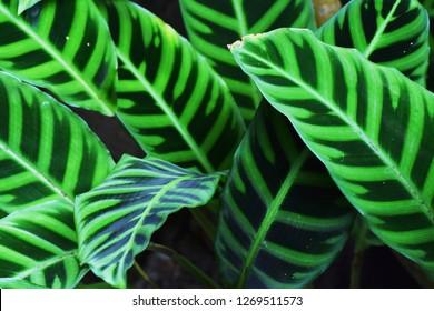 Calathea zebrina (Zebra plant)