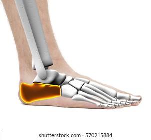 Calcaneus Heel Bone - Anatomy Male - Studio photo isolated on white