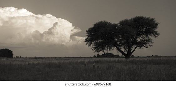 Calden Tree, Landscape,Pampas