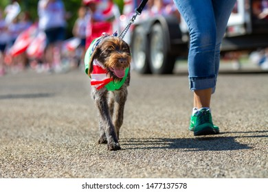 CALDWELL, IDAHO - JULY 4, 2019 - Dog walks with it's owner during the 4th of july parade in Caldwell, Idaho