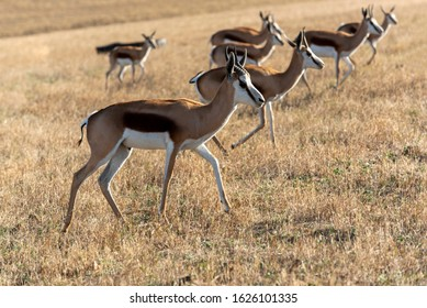Caledon, Western Cape, South Africa. Dc 2019.  Springbok grazing on farmland in the Overberg region of the Western Cape, South Africa