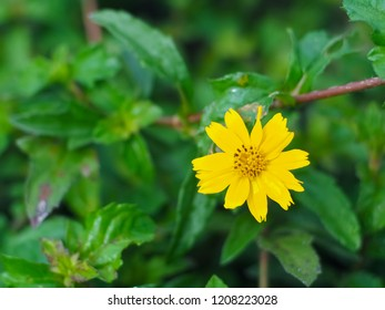 Calendula arvensis or Field marigold flower, Blossoming flowers ,Beautiful flowers in the garden,Close up.