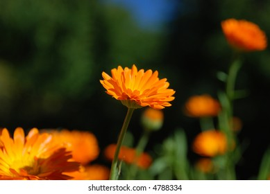 Calendula Blooming in the garden
