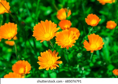 Calendula blooming in the garden. Orange flowers and green leaves. Vegetable background. Medicinal plant