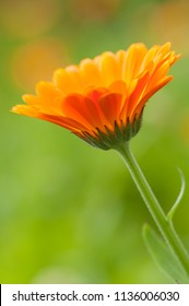 calendula flower beautiful orange blossom in the herbal garden meadow with a blurred green background and blurred orange flowers. in the middle of a sunny summer day