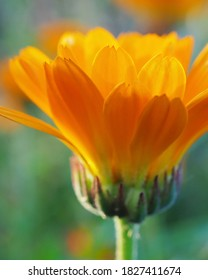 The calendula flower closes at sunset time. Side view. Petals glow in the rays of the setting sun. Blooming marigold in July or August.