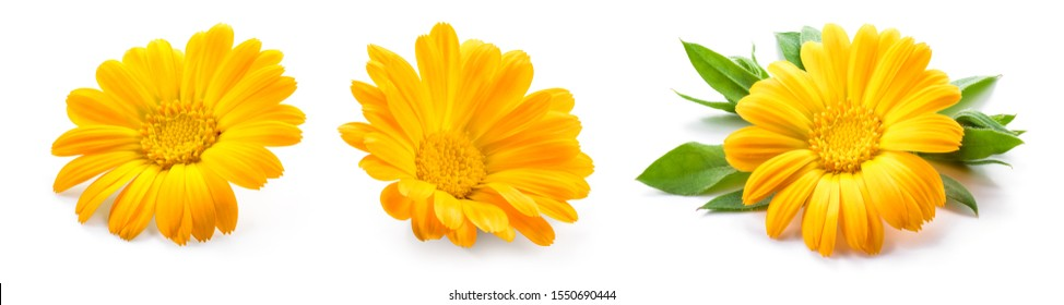 Calendula. Calendula flower isolated. Marigold on white.