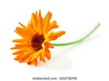 Calendula flower isolated on white background