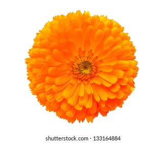 Calendula flower isolated on white