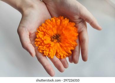 Calendula flower. Large bright flower. Orange, a beautiful flower.