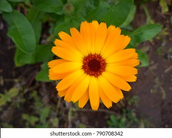 Calendula flower & leaf (Calendula officinalis, pot, garden or English marigold) plant, nature green background. Calendula flower on summer day. Closeup medicinal flower herb for tea or oil, top view