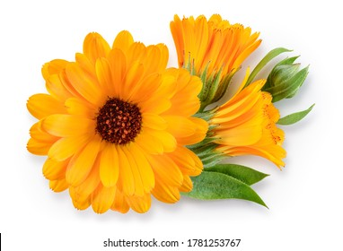 Calendula. Calendula flower with leaves isolated. Marigold top view on white. Calendula with clipping path.
