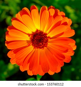 Calendula flower on lens blurred background (shallow DOF)