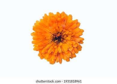 Calendula. Flower on a white background. Orange flower. Isolated