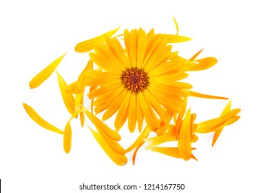 Calendula flower and petals on a white background