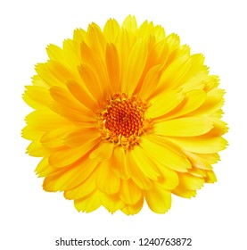 Calendula flowers isolated on white. Marigold Clipping Path