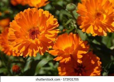 Calendula flowers on the sunny summer day