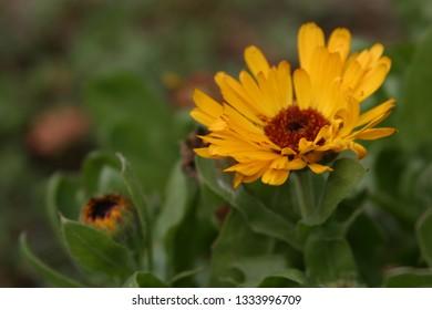 Calendula in the garden