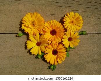 Calendula heart. Marigold flower & bud htop view on wooden background. Calendula cup (Marigold flower) heart natural flower. Calendula officinalis summer medicinal herb plant heart - healthy concept