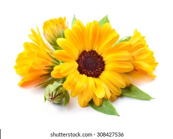 Calendula isolated. Flowers with leaves isolated on white