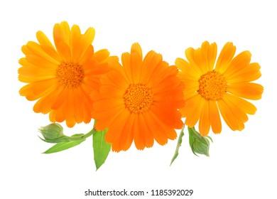 Calendula. Marigold flower isolated on white background
