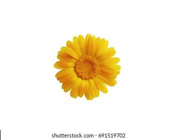 Calendula. Marigold flower isolated on white.