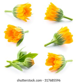 Calendula. Marigold flowers and buds isolated on white. Collection.