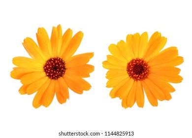 Calendula. Marigold flowers isolated on white background