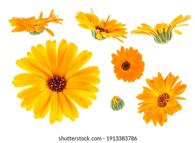 Calendula. Marigold flowers isolated on a white background, Collection.
