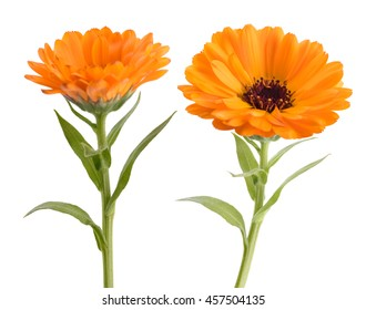 Calendula. Marigold plant with leaves isolated on white