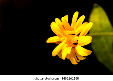 Calendula, medicinal plant with flower