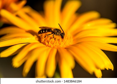 Calendula, medicinal plant with flower and bee