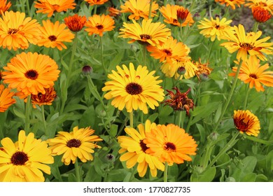 calendula officinalis in the Asteraceae family