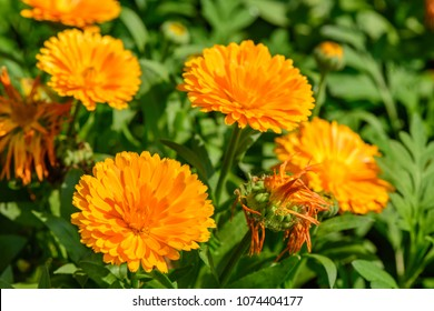 Calendula Officinalis (Calendula, Common marigold, Pot marigold) ; A colorful flowering, long & flat petals. Stacked overlap as circle to be bouquet. Long greenish flower stalk. Upward facing.
