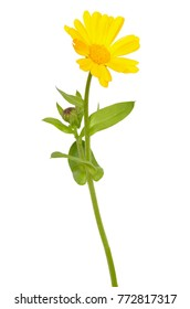 Calendula officinalis flower isolated on a white background