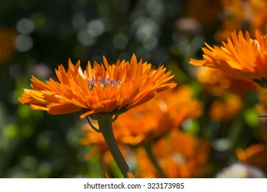 Calendula Officinalis Greenheart Orange flower bed focusing on a single flower at the front.