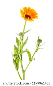 Calendula Officinalis. Marigold flower with buds on white background.