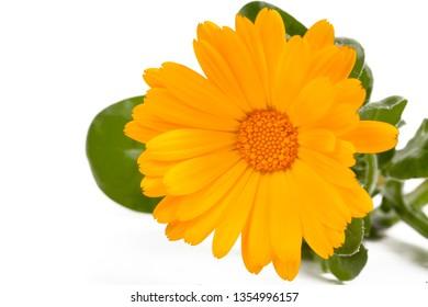 Calendula officinalis. Marigold flower with leaf isolated