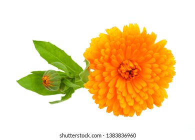Calendula officinalis, Marigold isolated on white background.