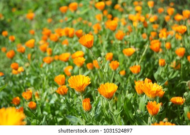 Calendula officinalis or Pot Marigold, Common Marigold, Scotch Marigold, Ruddles, Pot Marigold.