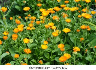 Calendula officinalis or Pot Marigold, Common Marigold, Scotch Marigold, Ruddles, Pot Marigold.