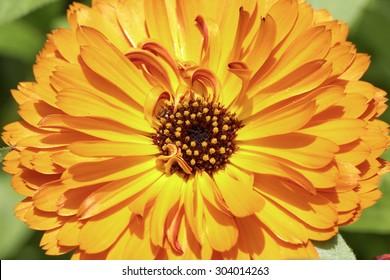 Calendula officinalis, Pot Marigold, Common marigold, English marigold, ornamental flower in summer