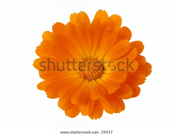 """Calendula officinalis, pot marigold isolated on white. More like this <a href= """"http://www.istockphoto.com/file_search.php?action=file&text=&text=isolated+AND+flower+head+AND+joss""""> here </a>"""