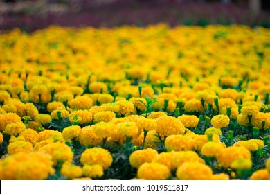 Calendula , officinalis Yellow flower in beautiful garden