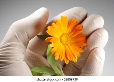 Calendula in palm