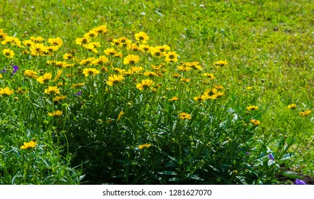 Calendula plants of the genus Tagetes. The common name refers to the Virgin Mary. Popular herbal and cosmetic products, carotenoids, sterols, flavonoids, tar and tannins, essential oil, coumarins,